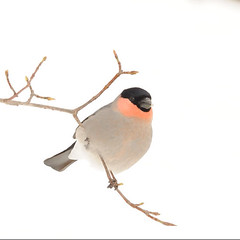 300mm (a tile of #bird & eurasian_bullfinch) (yannma) Tags: bird eurasianbullfinch