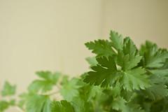 DSC_1104 (dan-morris) Tags: lighting green up leaf nikon soft close 1855mm dslr vr corriander f3556g 1855mmf3556gvr d3100