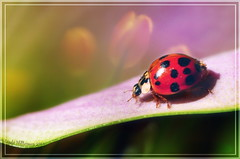Lady Bug, lady bug , fly away home.. (Lindaw9) Tags: flowers plants lady bug insect colours lily tulips cala nikond90