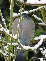 23Mar13 Pigeon Huddling (Daisy Waring World) Tags: pigeon snowybranches
