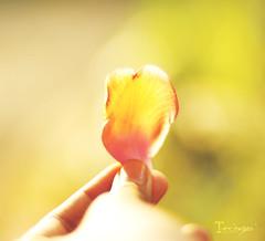 [003] - veins (jathdreams) Tags: sunlight india flower nature yellow bright bokeh petal veins mumbai 50mm50mmf14d