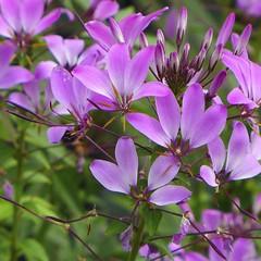 be of good cheer.... (kathleen walsh) Tags: pink flowers spring glowing cheerful sooc penderpines