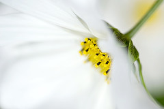 Simply Cosmos (Jacky Parker Photography) Tags: summer flower macro art nature horizontal closeup garden landscape one flora artistic single bloom flowering softfocus format annual orientation cosmos sonata floralessence creativefloral