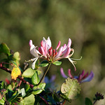 "Honeysuckle <a style=""margin-left:10px; font-size:0.8em;"" href=""http://www.flickr.com/photos/89335711@N00/8596710448/"" target=""_blank"">@flickr</a>"
