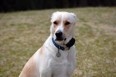 86/365D (Bub56) Tags: dog dogs lexington southcarolina posing bailey shelterdogs mixedbreeds 365daysofmydog