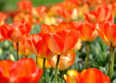 happy easter..-)) (aycasan) Tags: flowers nature turkey spring colours tulips trkiye bahar rize lale doa renkler aycasan