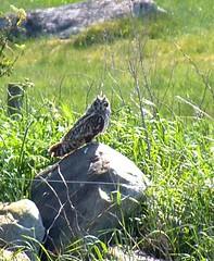 Jorduggla / Short-eared Owl (Åsa Berndtsson) Tags: sverige falkenberg shortearedowl asioflammeus jorduggla liseredsskär