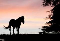 Cheval du soir (bertrand kulik) Tags: nature rose cheval nuage arbre coucherdesoleil