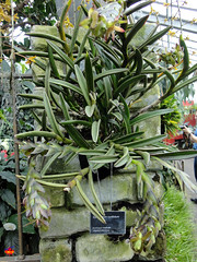 Orchids - Epidendrum coriifolium - Orchidaceae - Origin Tropical America SC20130302 100 (fotoproze) Tags: canada orchids quebec montreal orchidee orqudeas orchideje orchides anggrek orchideen   orkide jardinbotaniquedemontral montrealbotanicalgardens hoalan storczyki orchideen  2013 orhidee  orkideer  orqudies orkideat brnugrs orhideje  orkider orkideak orchidey   orchidek magairln  tegeirianau