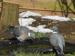 *exploring pigeons*...... (...justbryondthelrnsrecoverin from a stro) Tags: birds garden moving interestingness wings pond natural pigeons beak feathers feather striking pigeons2