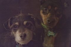 Forever Dogs Fiona and Pickles (Immature Animals) Tags: county arizona dog puppy mom manchester miniature mutt mix marshall pima terrier derek bark valley fiona pickles sick spayed fever microchip pincher neutered pacc derekmarshall valleyfever