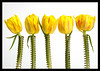 Spring Flowers (soundslogical) Tags: flowers yellow spring tulips sony a77 utatafeature