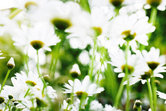 daisies in the wind (Chez C.) Tags: flowers white plant abstract flower nature floral daisies flora artistic blossom daisy   nikond600