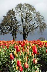 Oak & Tulips (Gary Grossman) Tags: holland oregon festive landscape oak tulips northwest pacificnorthwest willamette tulipfield tulipfestival woodburn willamettevalley