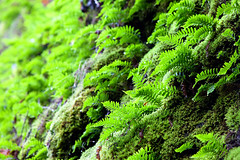 Lush (rianklong) Tags: fern green water oregon or ferns mossy columbiarivergorge wahkeena verdent nationalscenicarea columbiarivergorgenationalscenicarea canonef70200mmf28lisusm canoneos5dmarkii canon5dmarkii