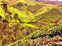 Cameron Highlands (DriftingWorldInk) Tags: travel wanderlust malaysia tanahrata cameronhighlands pahang boh teaplantations bohtea