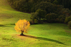 Golden (Philipp Klinger Photography) Tags: italien autumn trees light shadow italy orange tree green fall nature grass yellow landscape gold golden leaf nikon warm europa europe italia loneliness meadow warmth foliage val solo single tuscany lone lonely toscana valdorcia leafs philipp rocca lonetree lonelytree d800 toskana castiglione dorcia klinger roccadorcia castiglionedorcia dcdead nikond800