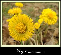 Voorjaar!!!!!!!!!!!!!! (Geziena) Tags: sony april geel bloem voorjaar dschx