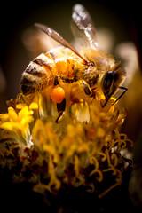 The Golden Bee (Amit Ambardar) Tags: macro yellow insect eos wildlife australia bee 7d quakershill macromarvels canoneos7d macroflowerlovers ef100mmf28lmacroisusm blinkagain motherstnc13