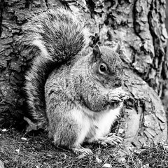 Alan (B&W) (John M Saddington) Tags: botanicalgardens animalsbirds squirel