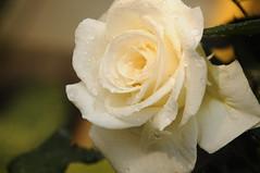 Rosa Blanca. (Fulvia Afre Gannaway) Tags: city magic nights 1001