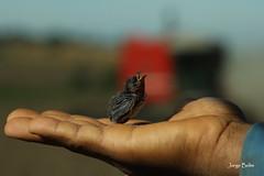 Sem ninho (2526) (Jorge Belim) Tags: fauna pássaro ave preferida canoneos50d