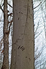 Here there be bears (*Keith*) Tags: bear tree adirondacks trail trunk upstatenewyork newyorkstate adirondackmountains clawmarks hadleymountain saratogacounty
