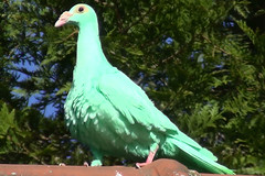 Pigeon Carrier meraude (MelEngElis) Tags: green english race pigeon vert fancy grn rare bizarre oiseau carrier tauben fantaisie golebie meraude galamb colombiculture caroncules caronculs