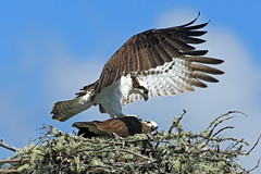 Soft Landing   (3) _DEK6106a (DennisKirkland) Tags: morning bridge wild male nature birds female canon outdoors daylight spring nest top wildlife pair bottom breeding adults submission osprey avian approaching predators predatory breedingpair fishhawks robertsonsbridge dennisekirkland