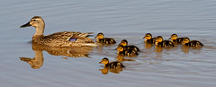 Mama Mallard and 8 ducklings, 04-20-13 (VinCar927) Tags: arizona birds gilbertriparianpreserve riparianranchatwaterpreserve