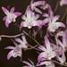 Dendrobium specio-kingianum – Anita Spencer