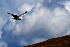 A Perfect Landing....... (pallab seth) Tags: blue sky nature nikon seagull gull flight snaefell d3100