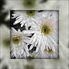 Chrysanthemums (pefkosmad) Tags: flowers white fleurs cathedral blumen gloucestershire gloucester processing editing fiori lightbox edit gloucestercathedral chrysanthemums viewonblack ipiccy