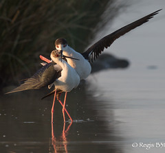 Des artistes ces chasses... (Rgis B 31) Tags: bird nature explore oiseau regards arige himantopushimantopus blackwingedstilt charadriiformes mazres echasseblanche 500500 rcurvirostrids canon5dmarkiii domainedesoiseaux