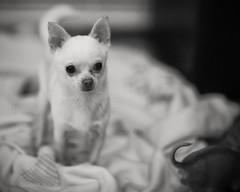 . . . buddy and a tail from betsy (orangecapri) Tags: orangecapri buddy betsy buddythechihuahua dog puppy chihuahua bw dogportrait f12l 85l f12 littledoglaughednoiret ldl