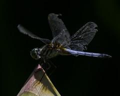 DragonFly_SAF0869 (sara97) Tags: copyright2016saraannefinke dragonfly flyinginsect insect missouri mosquitohawk nature odonata outdoors photobysaraannefinke predator saintlouis towergrovepark