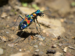 The beautiful tiger (GleamGloom) Tags: insect beetle