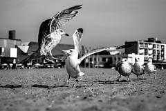 Gulls fight club
