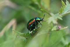 Tansy Beetles-5884 (Markpkn) Tags: beetle tansybeetle tansy york chrysolinagraminis chrysolina macro
