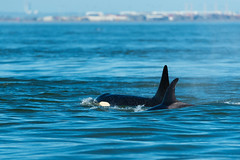 Orcas in Canadian Waters (erickPDX) Tags: sanjuanislands orcasisland demorcas washington pnw