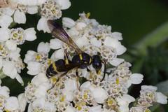 potter wasp on yarrow 071616-1 (TER-OR) Tags: eastdundee illinois unitedstates potterwasp wasp