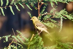 Female Lesser Goldfinch (phicks172) Tags: bird finch