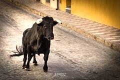 Encierros NSJ 2016 - Navas de San Juan (Jan) (josmiz76) Tags: 18270 2016 600d canon encierros jan navasdesanjuan novillos torero toros vacas josmiz josmizphotographer josmizphotography photographer photography