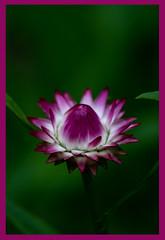 AH62_8147 (der_andyrandy) Tags: blumen blte garten natur macro makro outdoor wow grn lila canoneos7d amazingamazing thisphotorocks aphotographersnature