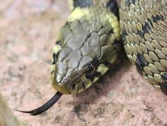 Grass snake , Natrix natrix (7)_filtered (Geckoo76) Tags: grasssnake snake natrixnatrix