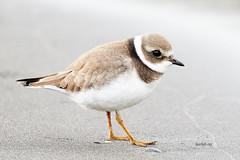 Sandla (Charadrius hiaticula) (bjarkihalldors) Tags: canoneos7dmarkii canonef100400mmf4556lisii sland iceland akranes bird fugl sandla charadriushiaticula