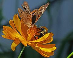 Sharing (kendoman26) Tags: butterfly bee buckeye buckeyebutterfly flower cosmosflower closeup fuji fujifinepix fujifinepixs1 topazdetail topazsoftware