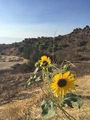 (vbchick004) Tags: wildwest idaho sunflower summer