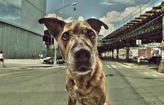 165 sophie street (odish3) Tags: sophie pitbullmix pitbull dog street