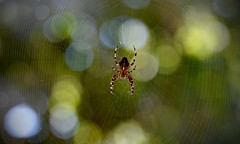 Spider in the centre of his webb (Jan Hennberg) Tags: nature animal spiders macro